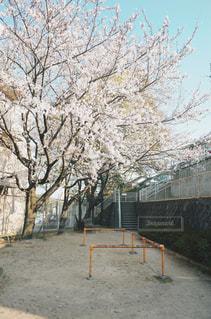 公園の桜の木の写真・画像素材[1884047]