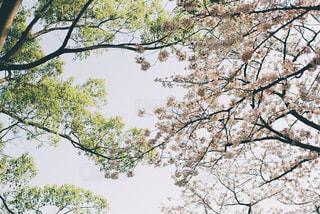 新緑と桜の写真・画像素材[1884067]