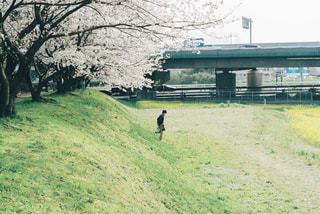 桜並木をお散歩の写真・画像素材[1884071]