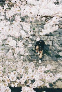 桜並木をお散歩の写真・画像素材[1884074]