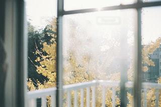 朝日を浴びる窓辺のイチョウの写真・画像素材[3011515]