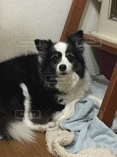 犬の写真・画像素材[310270]
