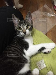 猫の写真・画像素材[310275]