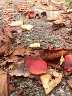 歩道の落ち葉の写真・画像素材[813498]