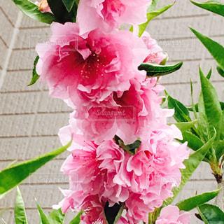 花の写真・画像素材[836058]