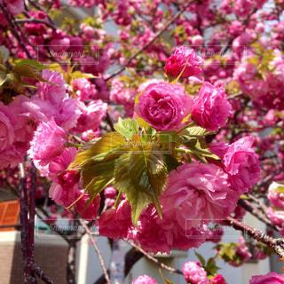 春の写真・画像素材[311372]