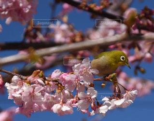桜の写真・画像素材[337999]
