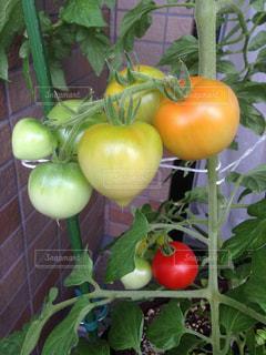 トマトの写真・画像素材[324571]