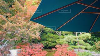 パラソルと紅葉の写真・画像素材[845254]