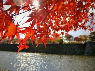 大阪城の紅葉の写真・画像素材[886341]