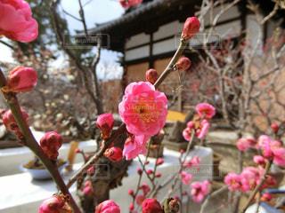 梅の花の写真・画像素材[1012390]