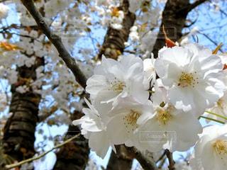 桜の写真・画像素材[1099173]
