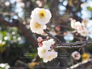 梅の花の写真・画像素材[2976652]
