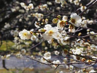 梅の花の写真・画像素材[2976658]