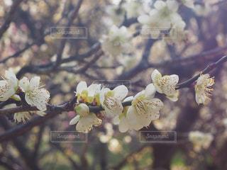 梅の花の写真・画像素材[2980910]