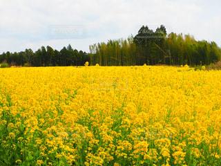 フィールド内の黄色の花の写真・画像素材[1214035]