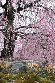 梅の写真・画像素材[1072032]