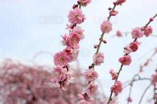 梅の写真・画像素材[1072035]