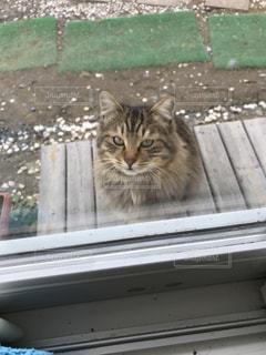 猫の写真・画像素材[313081]