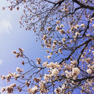 桜の写真・画像素材[313121]