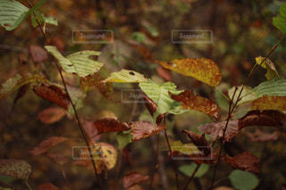 枯葉の写真・画像素材[969059]