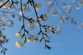 ソメイヨシノの写真・画像素材[3119935]
