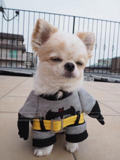 犬,チワワ,可愛い,眠い,バットマン