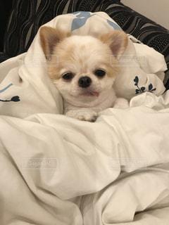 ベッドの上で横になっている茶色と白犬の写真・画像素材[776040]