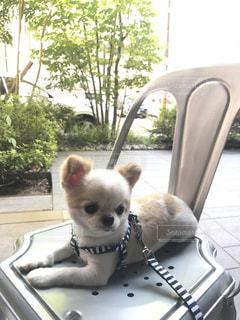 テーブルに座っている小さな白い犬 - No.776041