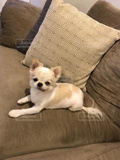ソファーに座っている茶色と白犬の写真・画像素材[913785]