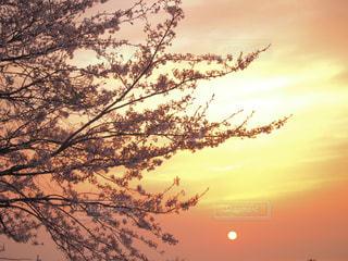 自然,風景,花,春,夕日,桜,夕焼け