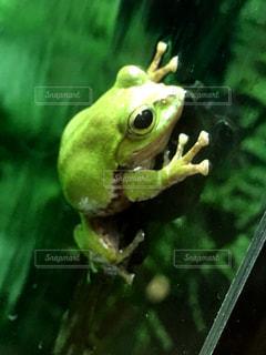 カエルの写真・画像素材[315649]