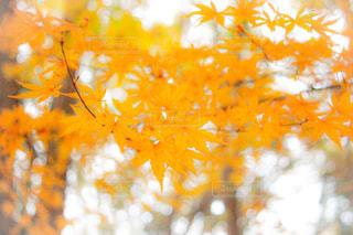 紅葉した紅葉の写真・画像素材[817076]