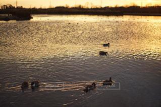水体でカモメの群れが泳いでいます。の写真・画像素材[817081]