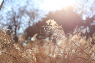 ススキの写真・画像素材[817084]