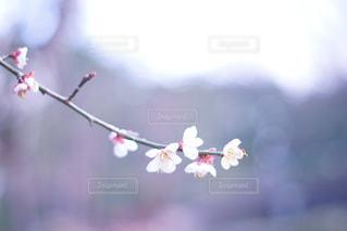 梅の花の写真・画像素材[895667]