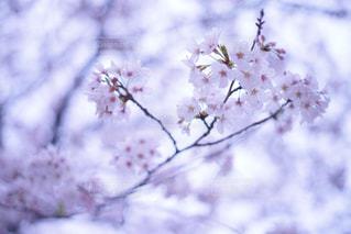 桜の写真・画像素材[895671]