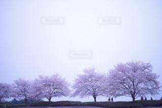 桜の木の写真・画像素材[936234]