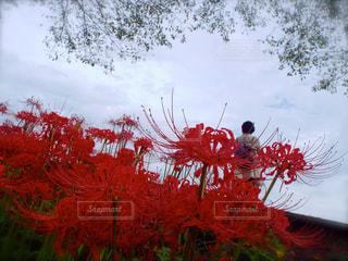 彼岸花の見送りの写真・画像素材[319138]