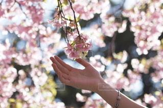 桜の写真・画像素材[2761]