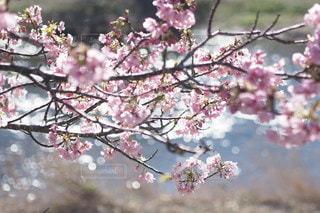 桜の写真・画像素材[2747]