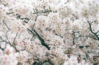 桜の写真・画像素材[3102244]