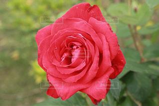花のように赤いバラの写真・画像素材[856811]