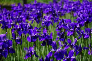 紫色の花一杯の花瓶の写真・画像素材[1156151]