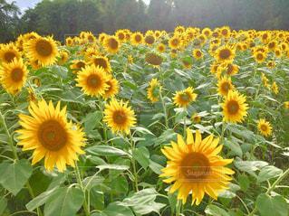 花の写真・画像素材[698373]