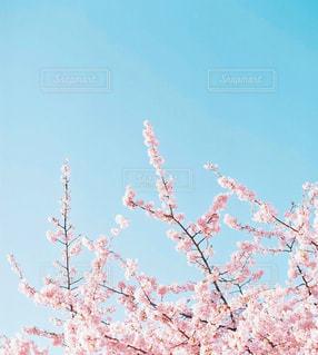 桜の写真・画像素材[2290353]