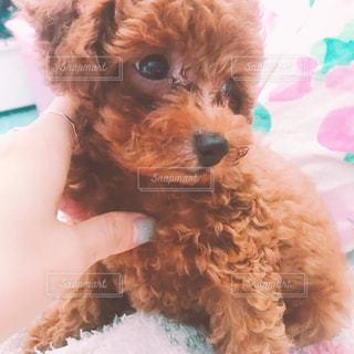ベッドの上に横たわる大きな茶色の犬の写真・画像素材[715221]