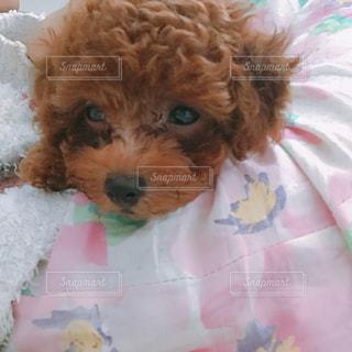 ベッドの上で横になっている茶色と白犬の写真・画像素材[715222]