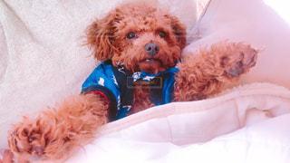 ベッドの上に横たわる犬 - No.1000933