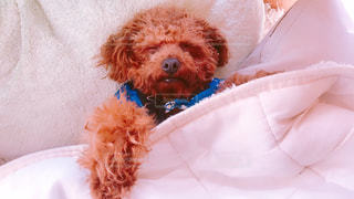 ベッドの上で横になっている茶色と白犬の写真・画像素材[1000934]